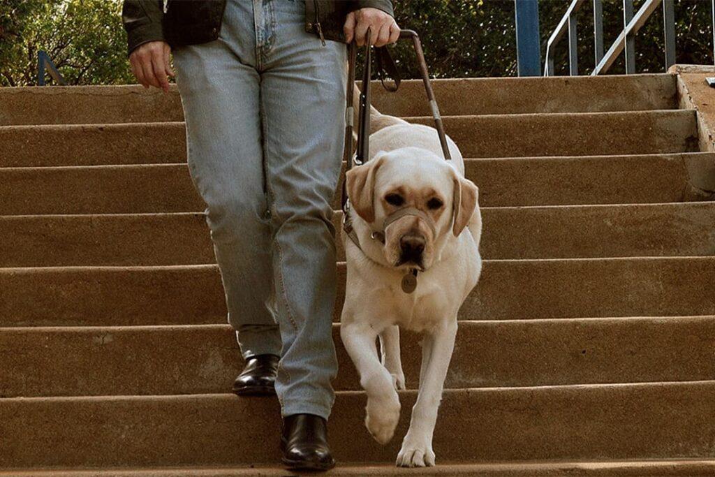 Pessoa descendo escada com cão-guia. Descrição detalhada na legenda abaixo, pelo Dia Nacional do Voluntariado 2021.